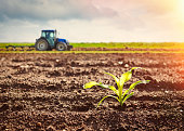 Growing maize crop and tractor working on the field