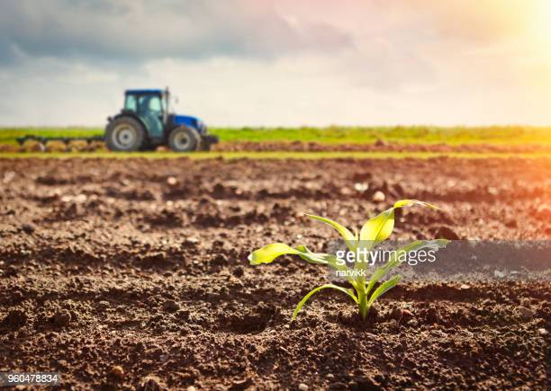 growing maize crop and tractor working on the field - campo foto e immagini stock