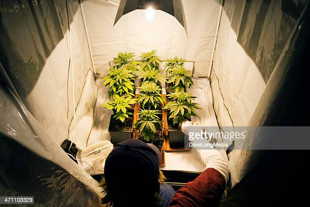 growing marijuana - cannabis plant stock photos and pictures