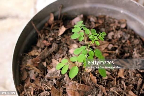 growing moringa oleifera plant - moringa oleifera stock photos and pictures