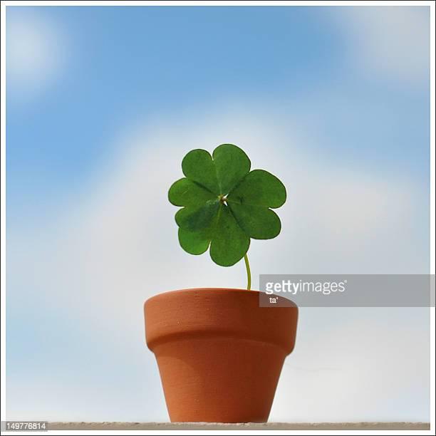 Growing my lucky clover