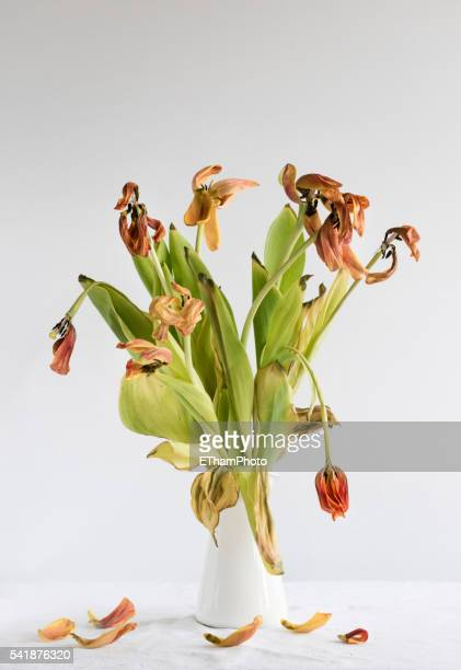 Growing old - withered tulip flower blossom