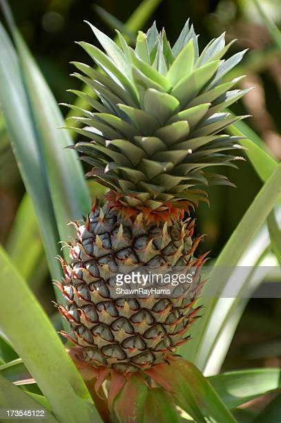 croissance et à l'ananas - guadeloupe photos et images de collection