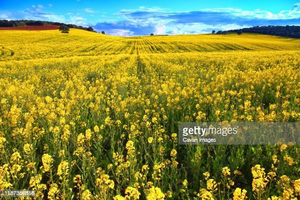 growing rapeseed field in spring - キャノーラ ストックフォトと画像