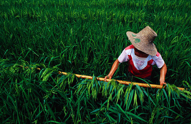 Growing rice, China, North-East Asia