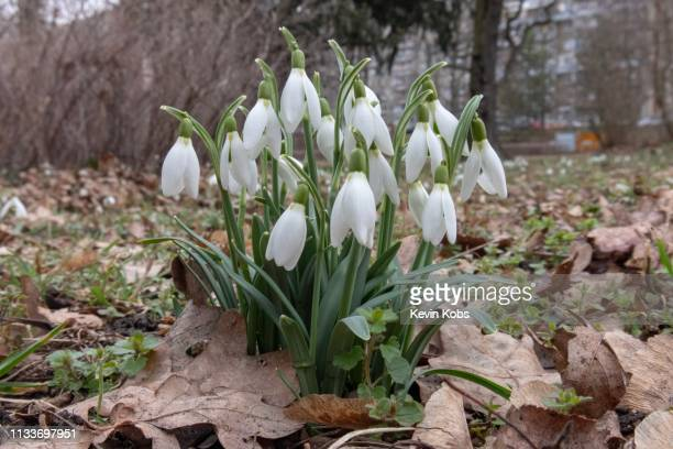 Growing snowdrops in Frankfurt (Oder), Brandenburg, Germany.