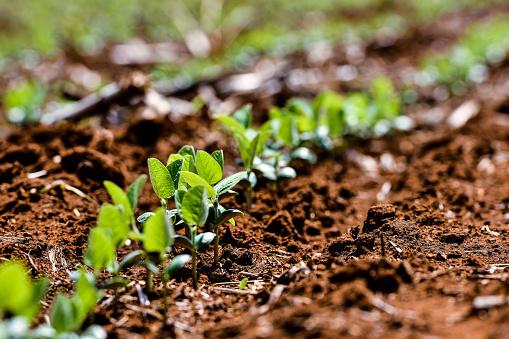 Growing Soybean Plants - gettyimageskorea