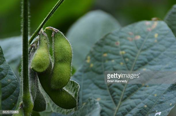 Growing soybeans