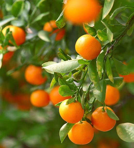Growing Tangerines Wall Art