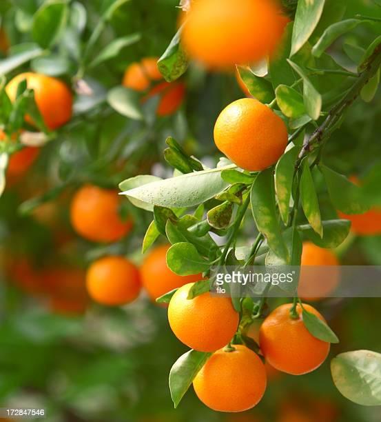 Growing Tangerines