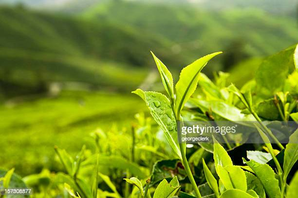 Growing Tea Leaves