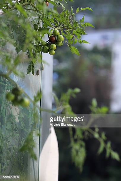 Growing tomatoes on a balcony in Shenzhen