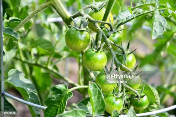 growing tomatoes - jade nimmo - fotografias e filmes do acervo