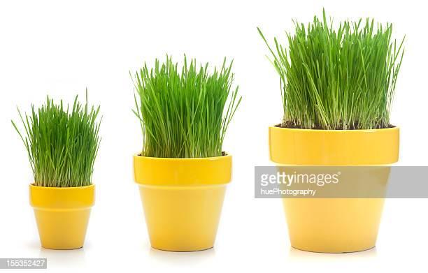growing wheat grass - drie dingen stockfoto's en -beelden