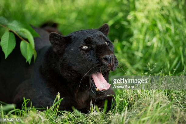 a growling black leopard. - pantera nera foto e immagini stock