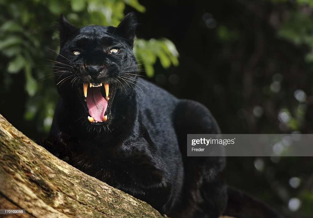 https://media.gettyimages.com/photos/growling-black-panther-picture-id170103098