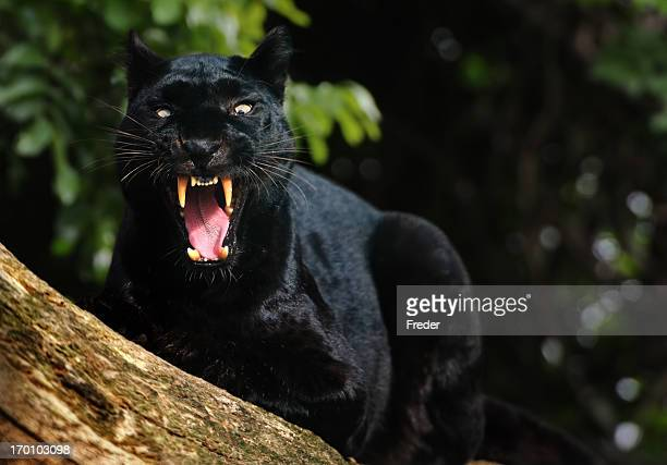 rugissant black panther - leopard photos et images de collection