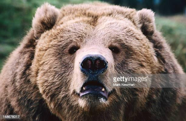 Growling Grizzly Bear (Ursus Arctos).
