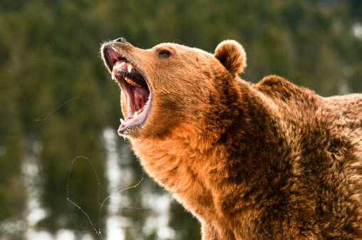 Growling Grizzly Bear 488666605