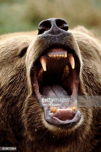 growling grizzly bear - grizzly bear stock pictures, royalty-free photos & images