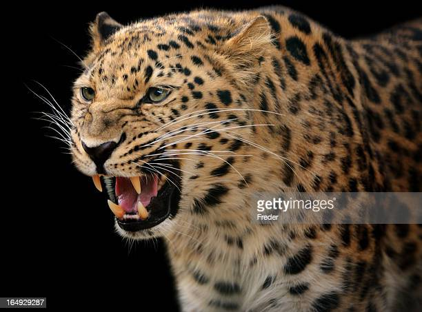 growling leopard - leopard stock pictures, royalty-free photos & images