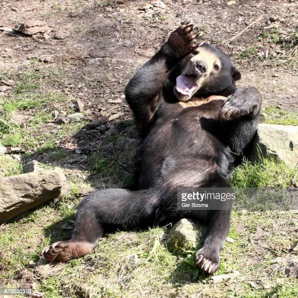 Growling Malayan Sun Bear