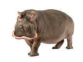 Grown hippopotamus aged 30 years on a white background