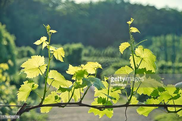Wachstum junger vine