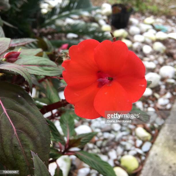 growth - impatience flowers stock pictures, royalty-free photos & images