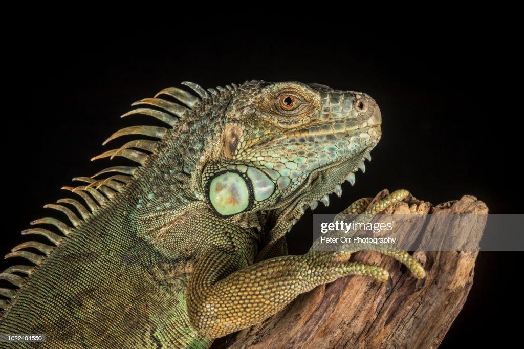 Grren Iguana, Iguana iguana : Stock Photo