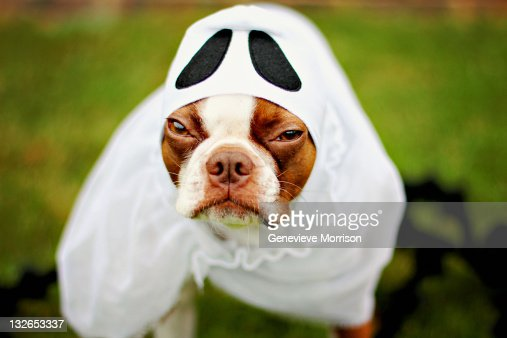 Grumpy boston terrier in ghost costume