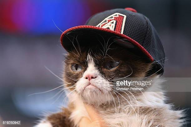 'Grumpy Cat' on the field before the MLB opening day game between the Colorado Rockies and the Arizona Diamondbacks at Chase Field on April 4 2016 in...