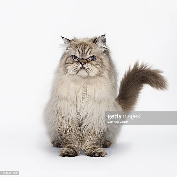 grumpy cat seated - cats stock pictures, royalty-free photos & images