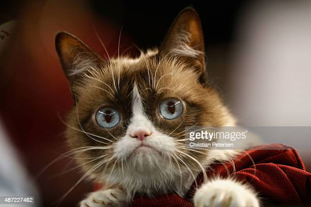 Grumpy Cat sits dugout before the MLB game between the Arizona Diamondbacks and the San Francisco Giants at Chase Field on September 7 2015 in...