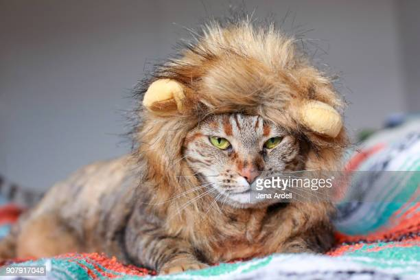 grumpy cat wearing lion costume - lion feline stock pictures, royalty-free photos & images