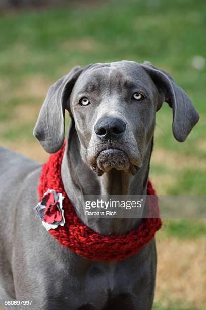 Grumpy dog face portrait of Great Dane mix