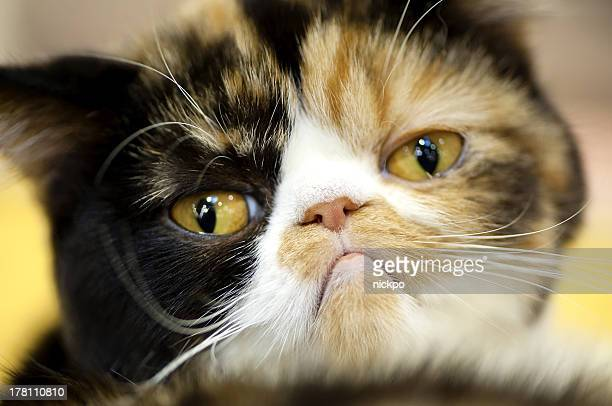 grumpy Exotic tortoiseshell cat portrait