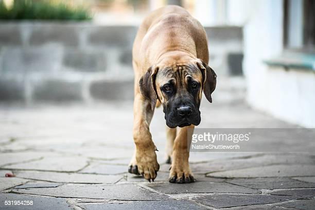 Grumpy Faced Mastiff