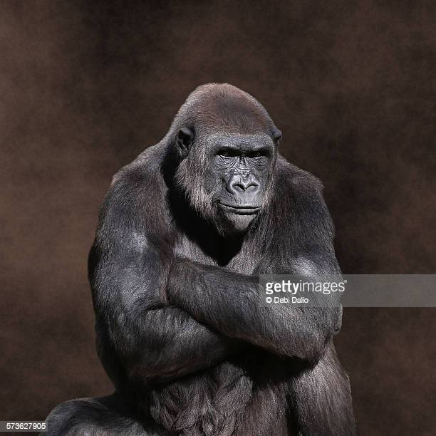 grumpy gorilla - sulking stock pictures, royalty-free photos & images