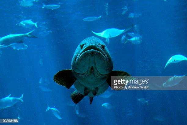 grumpy grouper - grouper stock pictures, royalty-free photos & images