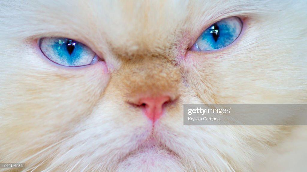 Grumpy Himalayan Cat, close up : Stock Photo