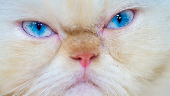 Grumpy Himalayan Cat, close up - gettyimageskorea