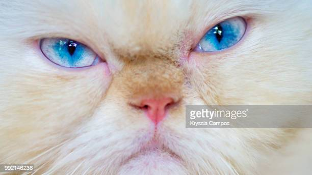 grumpy himalayan cat, close up - misnoegd stockfoto's en -beelden