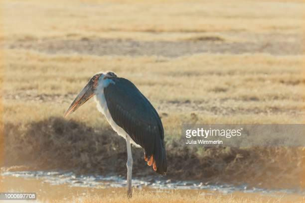 grumpy marabu - marabout photos et images de collection