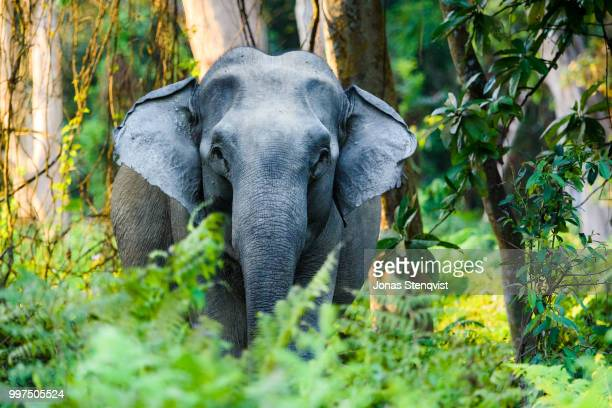 grumpy matriarch - indian elephant stock pictures, royalty-free photos & images