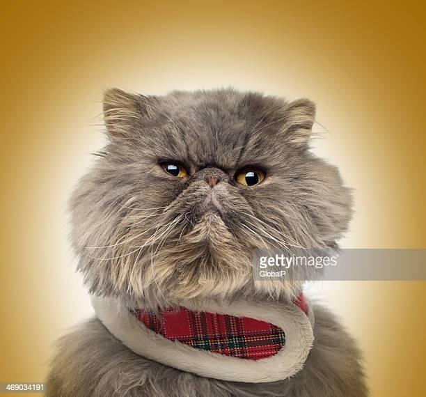 Grumpy Persian cat wearing a tartan harness on golden background
