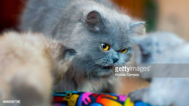 Grumpy Persian Mommy Cat