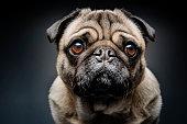 Grumpy Pug With a Very Sad Face