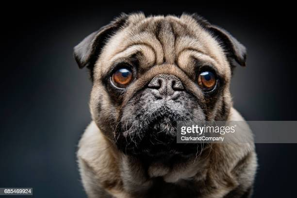 grumpy pug with a very sad face - suplicar imagens e fotografias de stock
