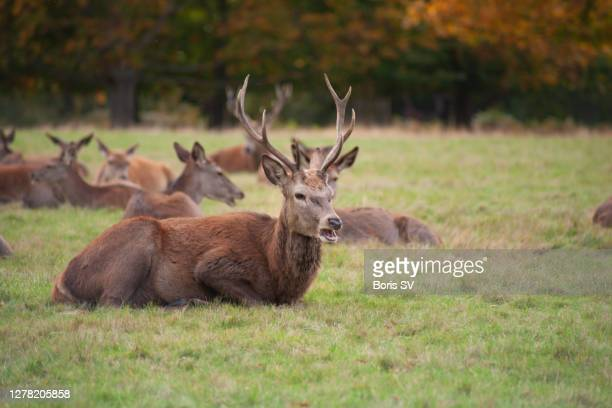 grumpy red deers - boris stock pictures, royalty-free photos & images